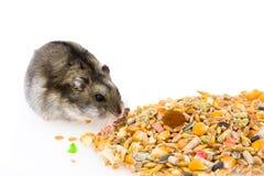 Eating Hamster Stock Image