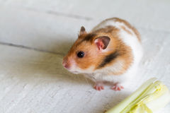 Eating hamster on white boards Stock Photos
