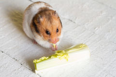 Eating hamster on white boards Royalty Free Stock Photography