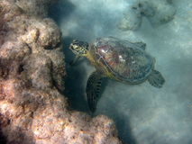 Eating Hawaiian Sea Turtle Honu Royalty Free Stock Photos