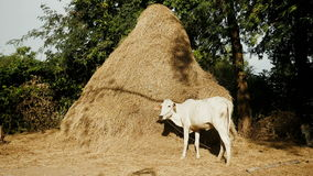 Eating hay, eating straw, haystack, cow stock footage