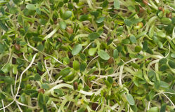 Eating Healthy Alfalfa Sprouts Royalty Free Stock Images