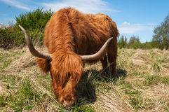 Eating Highland cow Stock Photo
