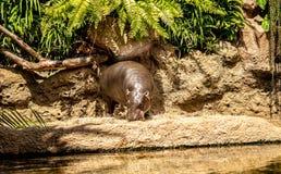 Eating hippopotamus ashore with lake in foreground. A eating hippopotamus ashore with lake in foreground stock photo