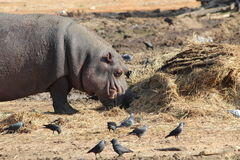 Eating Hippopotamus Stock Photography
