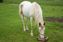 Eating Horse. A paint horse eating in a field royalty free stock photography