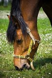 Eating horse. A horse eating grass on a field Stock Photo