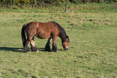 Eating horse on a fenced pasture Royalty Free Stock Image