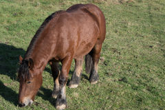 Eating horse on a fenced pasture Royalty Free Stock Photography