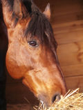 Eating horse in loose-box Stock Photography