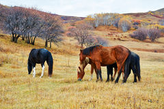 The eating horses on the grassland Royalty Free Stock Photo