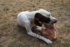 Eating hunting dog in my garden. A dog gets a big peace of meat Royalty Free Stock Image
