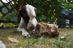 Eating hunting dog in my garden. A dog gets a big peace of meat Stock Photography