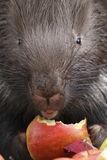 Eating Indian crested porcupine Royalty Free Stock Photo