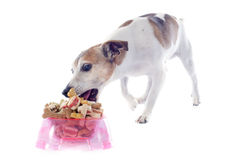 Eating jack russel terrier Stock Photography