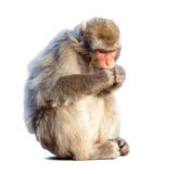 Eating Japanese macaque. (Macaca fuscata). Isolated  over white background with shade Royalty Free Stock Photo