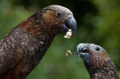 Eating kaka's. Two kaka's, eating nuts en fruits at mount bruce nature reserver, New Zealand Royalty Free Stock Photography