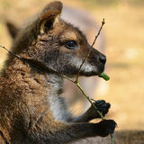 Eating kangaroo Royalty Free Stock Images