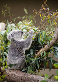 Eating Koala. A koala eating in a tree at the San Diego Zoo Royalty Free Stock Photo