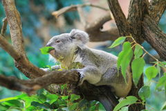 Eating koala. The eating koala on the tree royalty free stock image