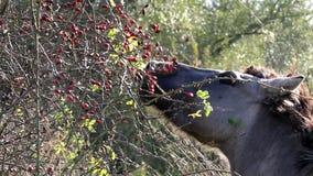 Eating Konik horse, Bisonbaai, Netherlands stock video footage