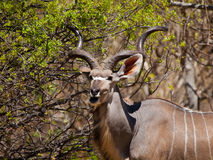 Eating kudu antelope Royalty Free Stock Photo