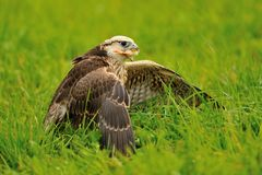Eating Lanner Falcon on the ground Royalty Free Stock Photo