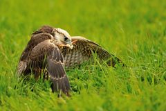 Eating Lanner Falcon on the ground Stock Image