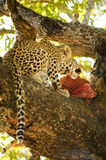Eating leopard cub. Feeding leopard cubin a tree taken close to the Kruger park South Africa Royalty Free Stock Photo
