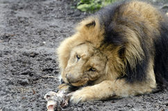 Eating lion Royalty Free Stock Image