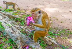 Eating lotus flower. The toque macaque eats the bright pink lotus flower, sitting on the tree`s roots, Anuradhapura, Sri Lanka Royalty Free Stock Photo