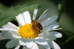 Eating lunch. A bee pictured feeding from stamens on top of a White Daisy Stock Image