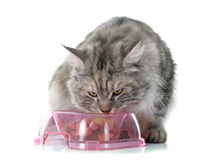 Eating maine coon cat Royalty Free Stock Photography
