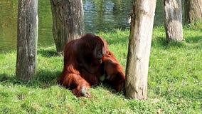 Eating male Bornean orangutan stock video footage
