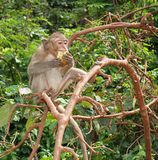 Eating Monkey. Monkey eating in a tree Royalty Free Stock Photo