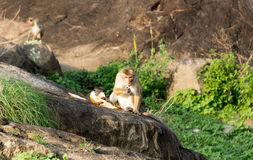 Eating monkey. Disgruntled monkey is eating the coconut on the rock in jungle Royalty Free Stock Photos