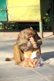 Eating Monkey In Nepal. Stock Image