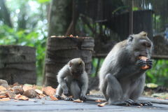 Eating monkey. These picture i took when i traveled in bali ,when i having a honey moon with my wife Stock Photo
