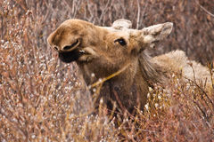 Eating Moose Royalty Free Stock Photography