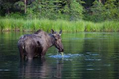 Eating Moose Stock Photography