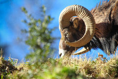 Eating Mouflon Stock Images
