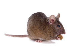 Eating mouse Stock Photo
