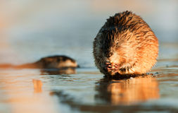 Eating Muskrat Stock Image