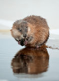 Eating Muskrat Royalty Free Stock Images