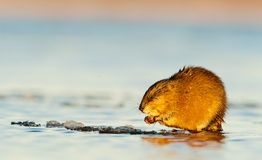 Eating muskrat Stock Photos