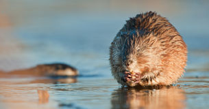 Eating Muskrat Stock Images