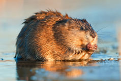 Eating Muskrat Stock Photo