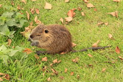 Eating nutria Stock Images