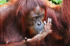 Eating orangutan in Borneo forest closeup of head. royalty free stock photo