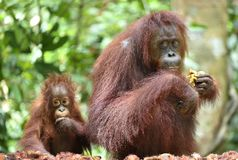 Mother orangutan and cub Stock Images
